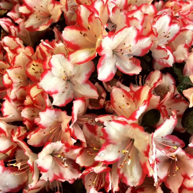 Rosa & Blanco En las recién regadas flores de primavera